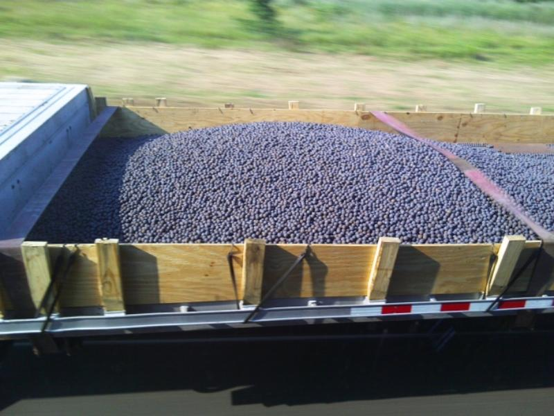 Part of a shallow bin full of blueberries on a flatbed trailer