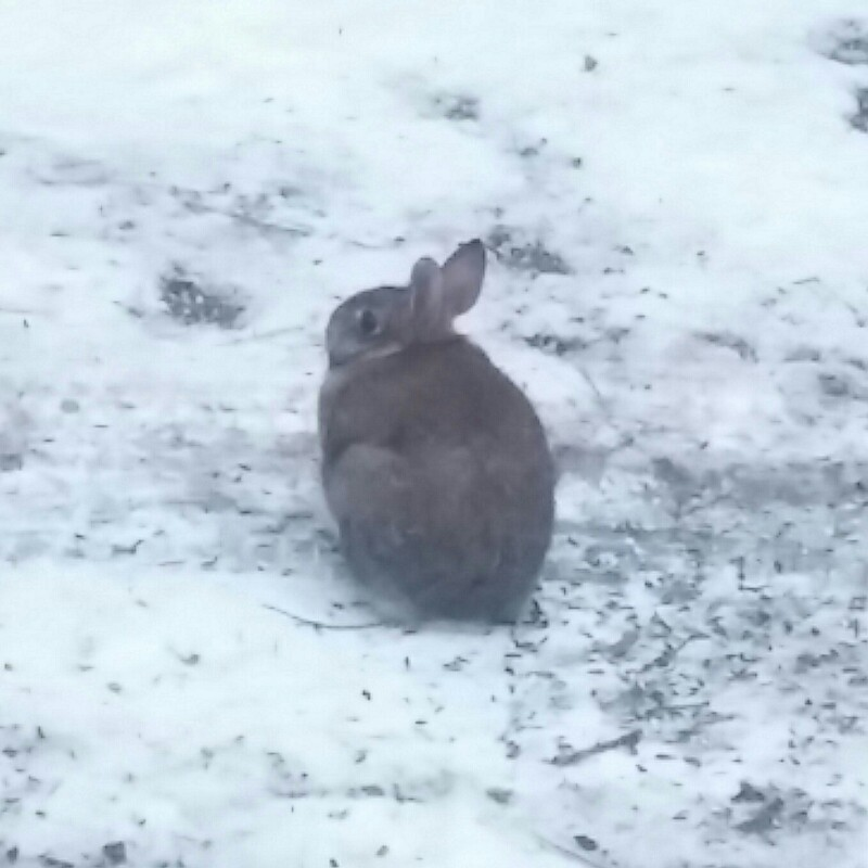 A chubby brown rabbit sitting in a snowy gravel driveway.