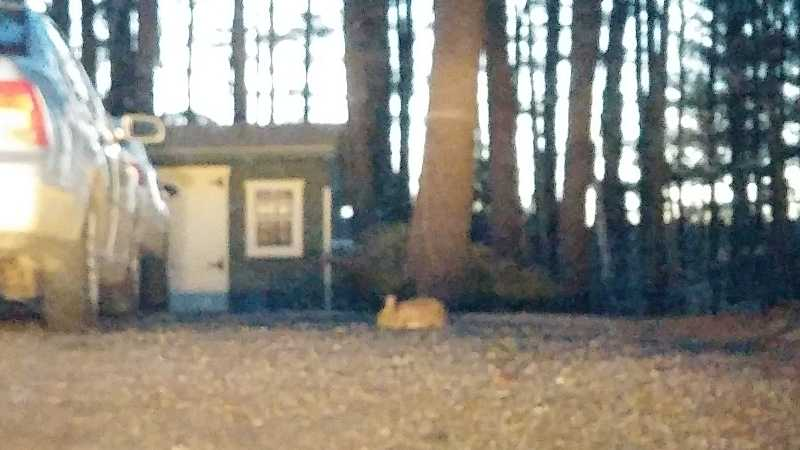 Blurry photo of what might be a brown rabbity lurking at the top of a driveway