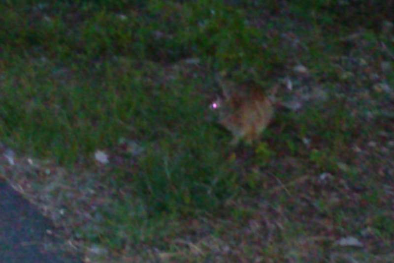 Blurry photo of a possible brown rabbit in grass near pavement; its visible eye appears to glow magenta