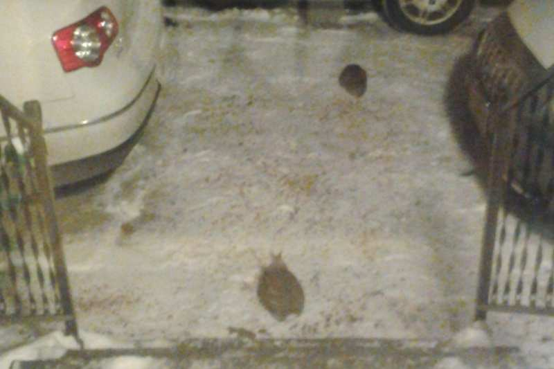 Blurry photo of what might be two brown rabbits in a snowy driveway